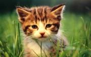 绿草上的可爱小猫咪宽屏壁纸 壁纸22 绿草上的可爱小猫咪宽 动物壁纸