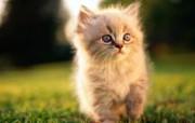 绿草上的可爱小猫咪宽屏壁纸 壁纸24 绿草上的可爱小猫咪宽 动物壁纸