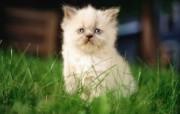绿草上的可爱小猫咪宽屏壁纸 壁纸27 绿草上的可爱小猫咪宽 动物壁纸