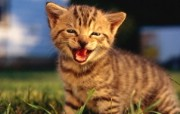 绿草上的可爱小猫咪宽屏壁纸 壁纸28 绿草上的可爱小猫咪宽 动物壁纸