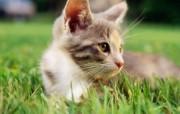 绿草上的可爱小猫咪宽屏壁纸 壁纸29 绿草上的可爱小猫咪宽 动物壁纸