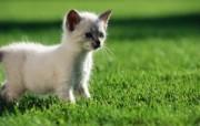 绿草上的可爱小猫咪宽屏壁纸 壁纸32 绿草上的可爱小猫咪宽 动物壁纸