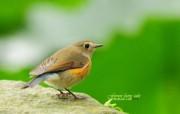 肥肥小鸟 蓝尾鸲 Orange flanked Bush Robin 图片壁纸 绿林仙子春天可爱小鸟壁纸第二辑 动物壁纸
