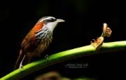 枝头小鸟 小弯嘴画眉图片壁纸 绿林仙子春天可爱小鸟壁纸第二辑 动物壁纸
