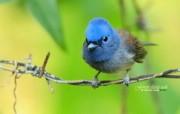黑枕蓝�l Black naped Blue Flycatcher图片壁纸 绿林仙子春天可爱小鸟壁纸第二辑 动物壁纸