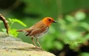 可爱小鸟 日本歌鸲图片壁纸 绿林仙子春天可爱小鸟壁纸第二辑 动物壁纸