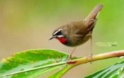 树林小鸟 红喉野鸲 Siberian Rubythroat 图片壁纸 绿林仙子春天可爱小鸟壁纸第二辑 动物壁纸