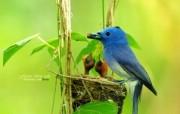 小鸟喂食 黑枕蓝�l小鸟图片壁纸 绿林仙子春天可爱小鸟壁纸第二辑 动物壁纸