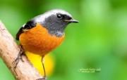 可爱小鸟 黄尾鸲图片壁纸 绿林仙子春天可爱小鸟壁纸第二辑 动物壁纸