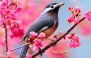 白耳画眉鸟 春天可爱小鸟图片壁纸 绿林仙子春天可爱小鸟壁纸第二辑 动物壁纸