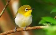 枝头小鸟 春天可爱小鸟图片壁纸 绿林仙子春天可爱小鸟壁纸第二辑 动物壁纸