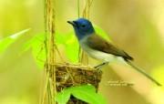 蓝色小鸟 黑枕蓝�l小鸟图片壁纸 绿林仙子春天可爱小鸟壁纸第二辑 动物壁纸