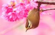 樱花小鸟 冠羽画眉鸟 Taiwan Yuhina 图片壁纸 绿林仙子春天可爱小鸟壁纸第二辑 动物壁纸