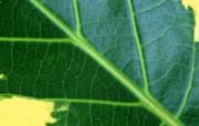 绿叶写真壁纸叶脉分 动物壁纸