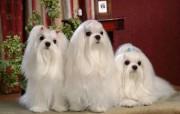 马尔济斯犬 壁纸4 马尔济斯犬 动物壁纸
