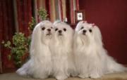 马尔济斯犬 壁纸5 马尔济斯犬 动物壁纸