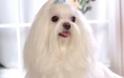马尔济斯犬桌面壁纸 动物壁纸
