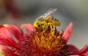 忙碌中的蜜蜂壁纸 动物壁纸