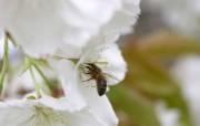 忙忙碌碌辛勤蜜蜂壁纸 动物壁纸
