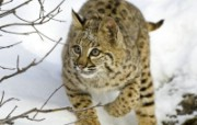 猫科类野兽动物壁纸 动物壁纸