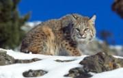 猫科类野兽动物壁纸 第三辑 壁纸12 猫科类野兽动物壁纸 动物壁纸