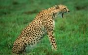 猫科类野兽动物壁纸 第三辑 壁纸25 猫科类野兽动物壁纸 动物壁纸