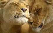 猫科类野兽动物壁纸 第三辑 壁纸49 猫科类野兽动物壁纸 动物壁纸