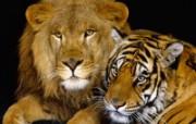 猫科类野兽动物壁纸 第三辑 壁纸50 猫科类野兽动物壁纸 动物壁纸