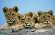 猫科类野兽动物壁纸 第三辑 壁纸51 猫科类野兽动物壁纸 动物壁纸