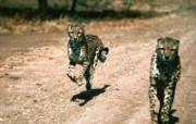 猫科类野兽动物壁纸 第三辑 壁纸28 猫科类野兽动物壁纸 动物壁纸