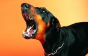 凶猛表情 趣味可爱狗狗图片壁纸 猫咪狗狗的趣怪神态 动物壁纸