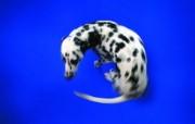 好玩尾巴 趣味可爱狗狗图片壁纸 猫咪狗狗的趣怪神态 动物壁纸