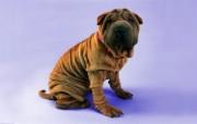 沙皮狗 趣味可爱狗狗图片壁纸 猫咪狗狗的趣怪神态 动物壁纸