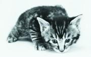 超萌小猫 趣味可爱小猫图片壁纸 猫咪狗狗的趣怪神态 动物壁纸