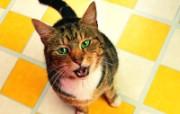 讨吃 趣味可爱小猫图片壁纸 猫咪狗狗的趣怪神态 动物壁纸