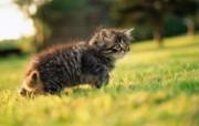 毛绒可爱猫宝宝写真 三个月大的小猫宝宝壁纸 毛绒可爱猫宝宝写真 动物壁纸