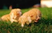 毛绒可爱猫宝宝写真 一个星期大的猫宝宝图片壁纸 毛绒可爱猫宝宝写真 动物壁纸