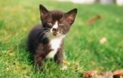 毛绒可爱猫宝宝写真 三个月大的猫宝宝图片壁纸 毛绒可爱猫宝宝写真 动物壁纸