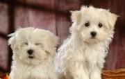 毛茸茸小狗狗壁纸 动物壁纸