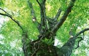 茂盛森林树木 壁纸3 茂盛森林树木 动物壁纸