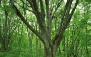 茂盛森林树木 壁纸7 茂盛森林树木 动物壁纸
