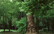 茂盛森林树木 壁纸27 茂盛森林树木 动物壁纸