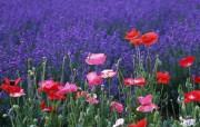 美丽的罂粟花 动物壁纸