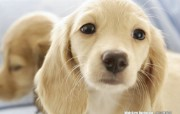 迷你腊肠犬壁纸 动物壁纸
