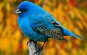 鸟语花香 动物壁纸