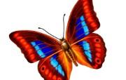 七彩翅膀美丽花蝴蝶 动物壁纸