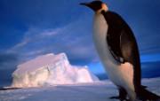 企鹅壁纸 动物壁纸