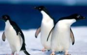 企鹅写真特辑 动物壁纸