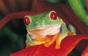 青蛙写真壁纸 动物壁纸