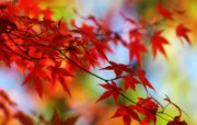 秋日红叶 动物壁纸
